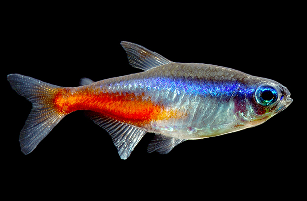 Neon Tetra | Discover Animals