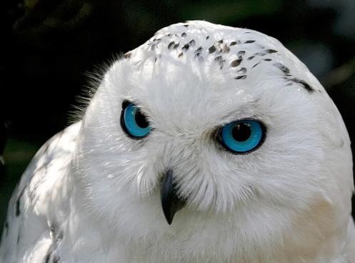 Nyctea Scandiaca (Snowy Owl) – Gina Tepper