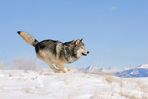 wolf - Animal Stock Photos - Kimballstock