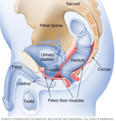 Male pelvic floor muscles - Mayo Clinic