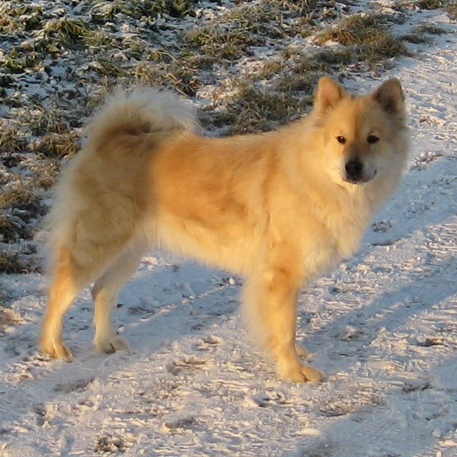 Eurasier Breed Guide - Learn about the Eurasier.