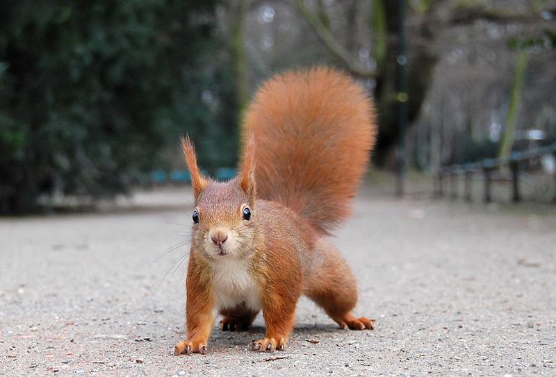 https://images.duckduckgo.com/iu/?u=http%3A%2F%2Fwww.photographers-resource.co.uk%2Fimages%2Fwildlife%2Fspecies%2Fmammals%2Fsquirrels%2FWiki_Red_Squirrel.jpg&f=1