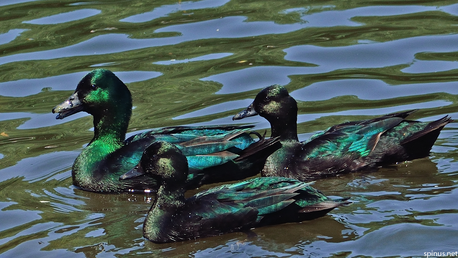 Feral Cayuga duck | Anas platyrhynchos | Spinus Nature ...