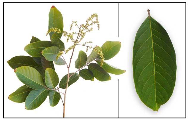 Rambutan, Nephelium lappaceum Linn. / SHAO TZU / ramboutanier ...