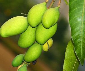 Irvingia Gabonensis Seed Extract   Naturalin   TradersCity