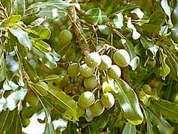 sheabutter oder karité wird aus den früchten des karité baumes ...