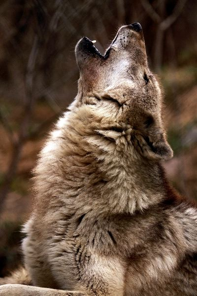 A Close Up Of An Adult Wolf Howling - Wolf Facts and ...
