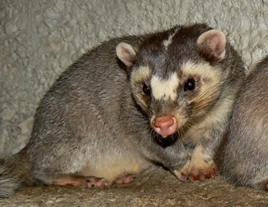 SMALL-TOOTHED FERRET-BADGER LIFE EXPECTANCY