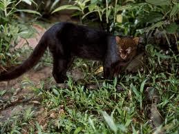 jaguarundi%2Bsinaloan.jpg&f=1&nofb=1