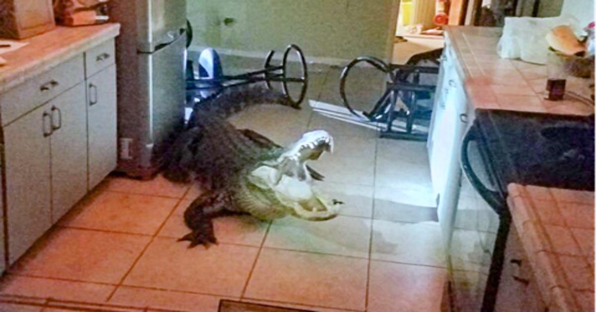 alligator-in-kitchen.jpg&f=1&nofb=1