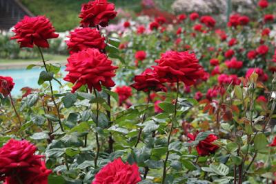 Tips Merawat Bunga Mawar