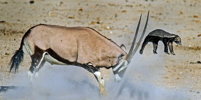 Antelope sends honey badger flying in epic fight   Fox News