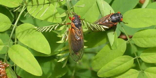 After 17 years underground, vast army of cicadas set to emerge…