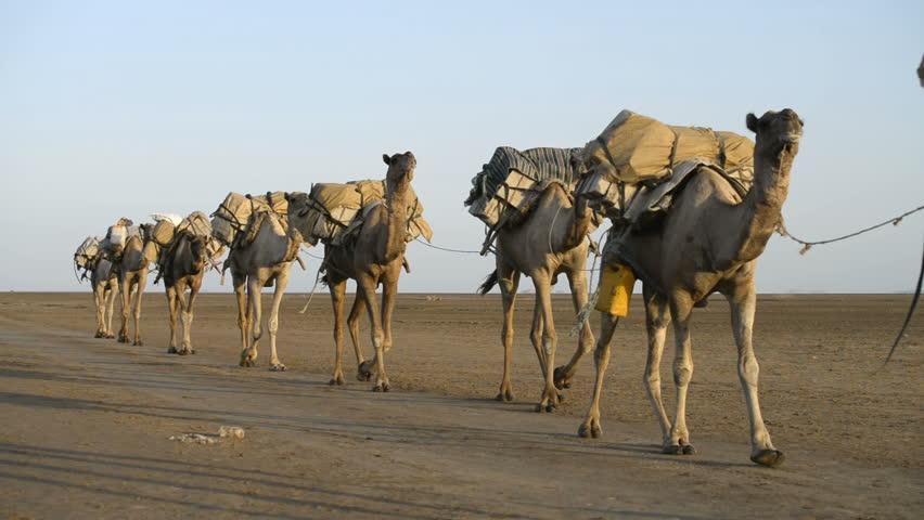 Camel Caravans Carrying Salt Through Stock Footage Video (100% Royalty-free) 9477026 | Shutterstock