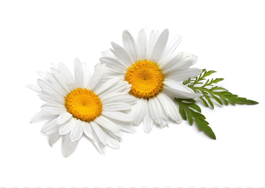 Tea German chamomile Flower Roman chamomile - camomile png ...