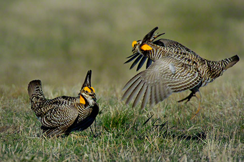 Greater Prairie Chicken | KINGDOM OF BIRD