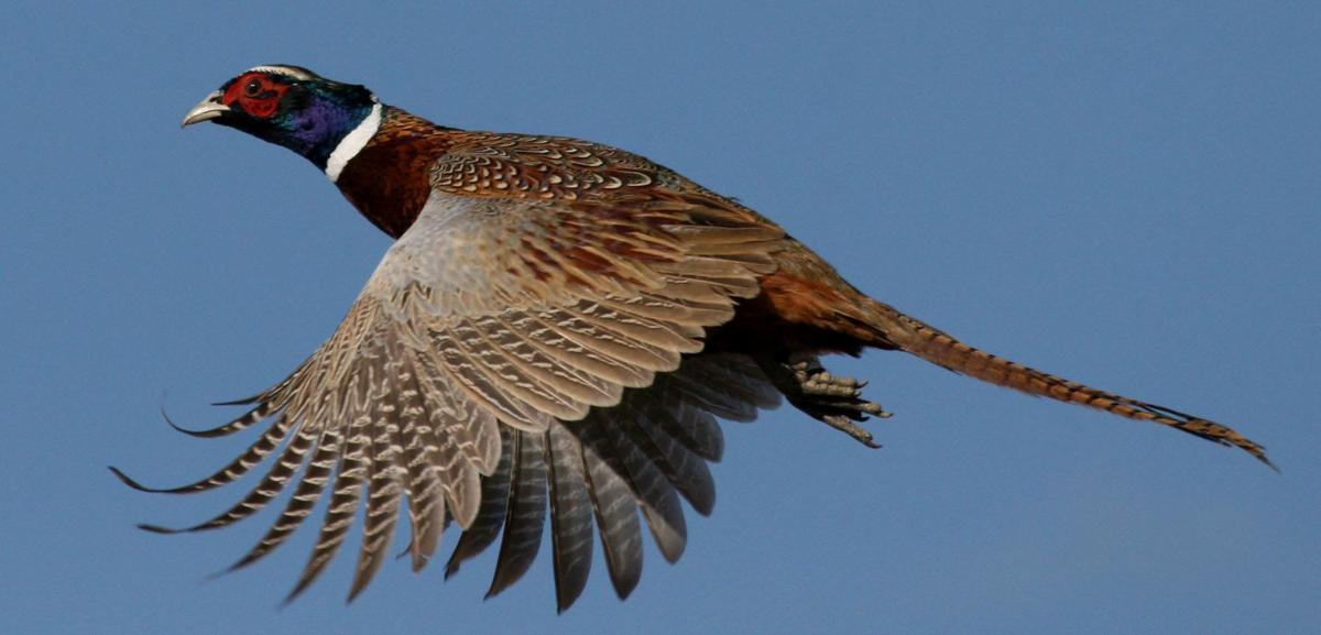 Amid Nebraska pheasant season, Game and Parks studies ...