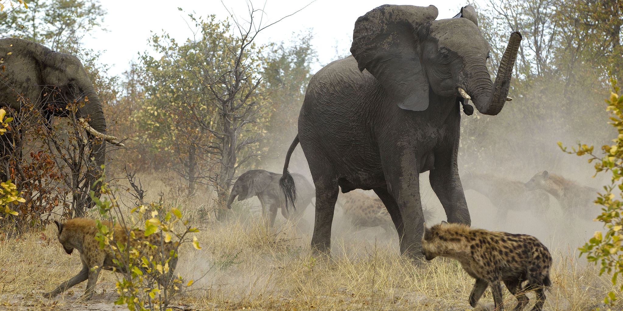 Elephant protecting its baby calf from hyenas | A Writer ...