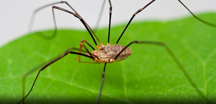 Pest advice for controlling Harvestmen Spiders