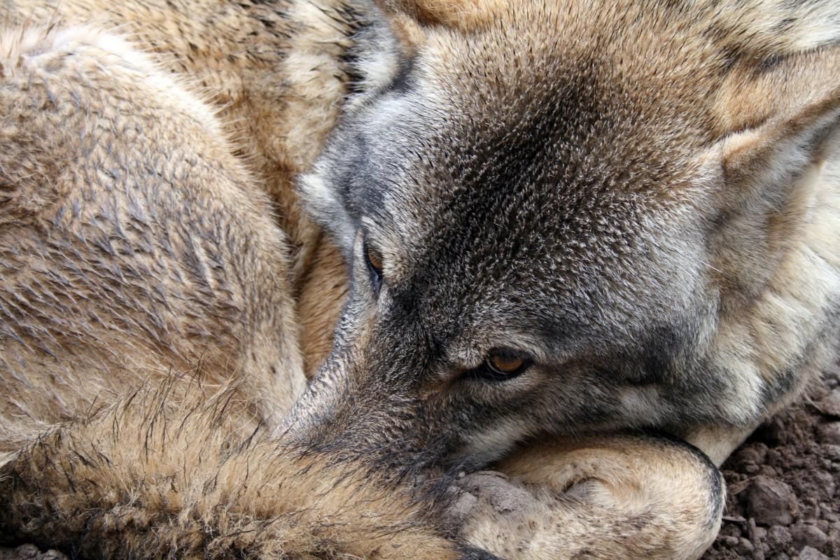 Free Images : nature, animal, canine, wildlife, fur, gray ...
