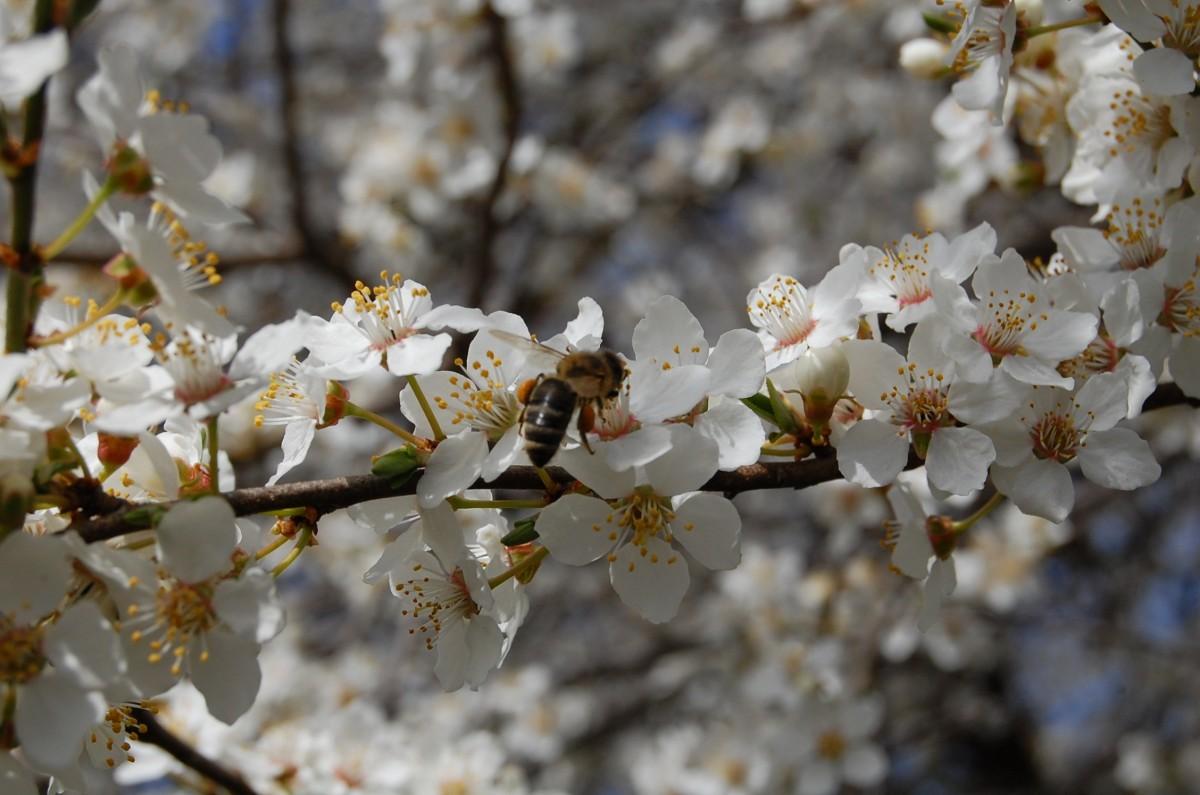 Kostenlose foto : Baum, Ast, blühen, Pflanze, Weiß, Blume ...