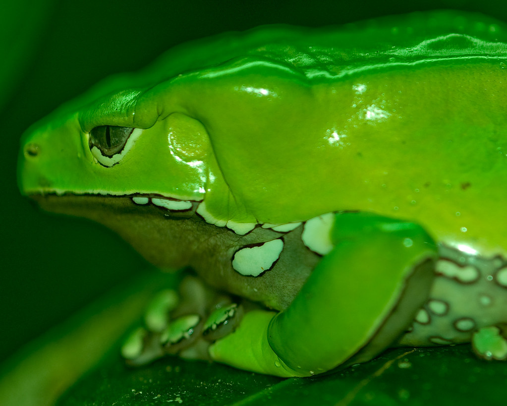 Image Gallery sapo verde