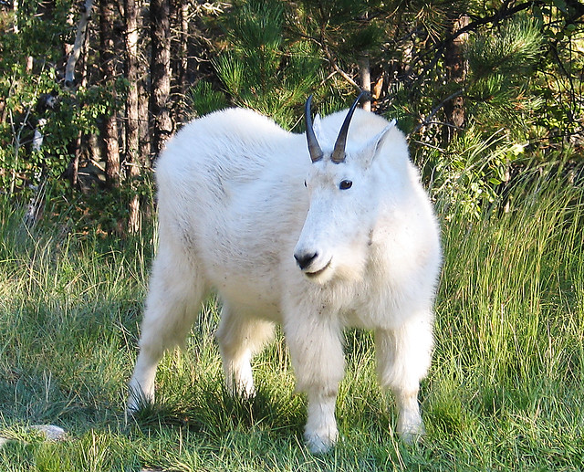Mountain Goat at Mt Rushmore South Dakota | Flickr - Photo ...