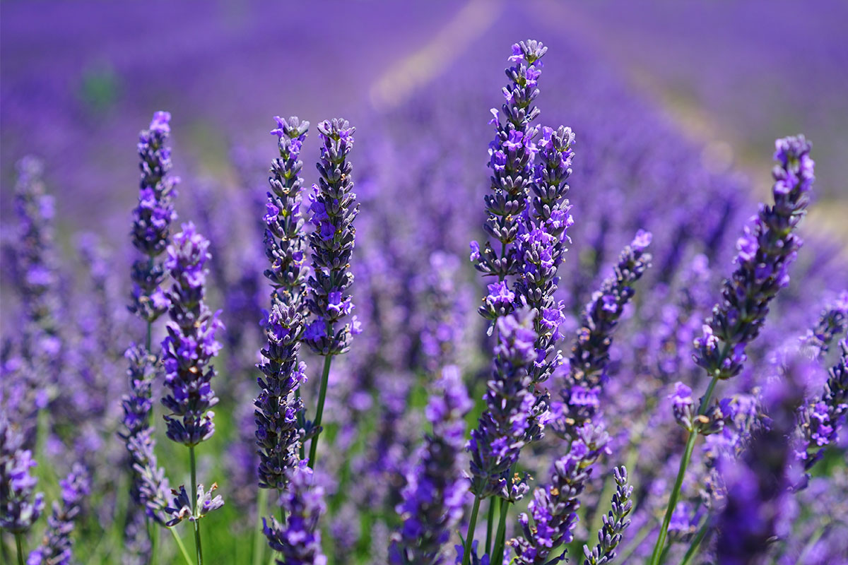 Linalool: The Fragrant, Analgesic Terpene That Relieves Stress
