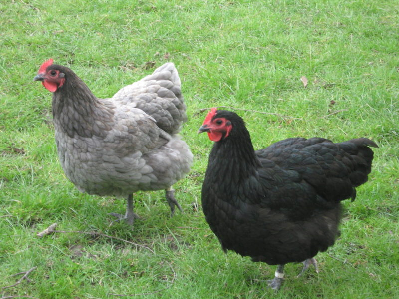 About Australorp Chickens: Excellent Egg Layers and ...