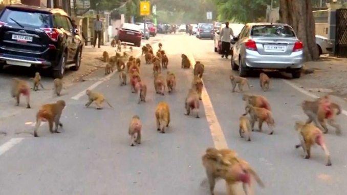 Monkeys Have Taken Over Gov't Buildings In India ...