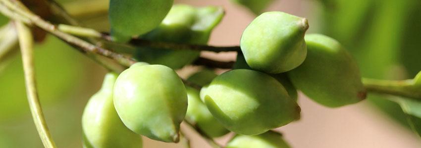 Herb of the Month: Kakadu Plum (Terminalia ferdinandiana ...