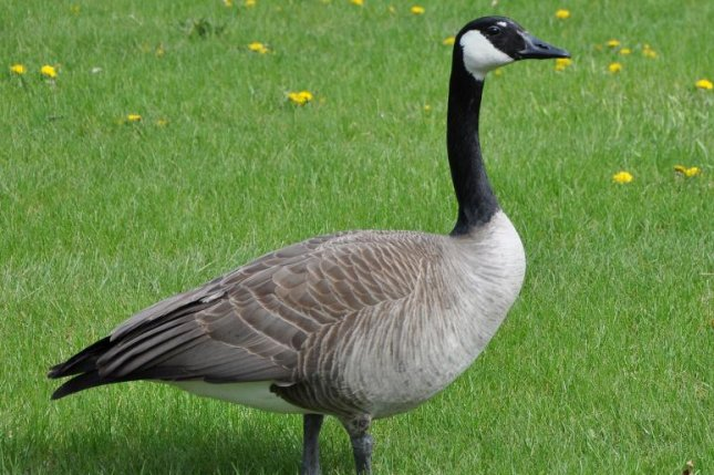 Canada goose attack leaves cyclist Kerry Surman with ...