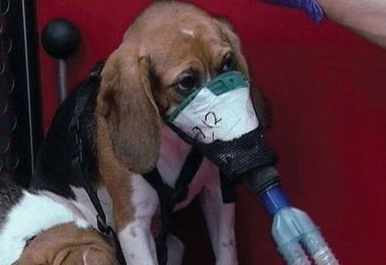 Ban the breeding for & use of Beagles in animal ...