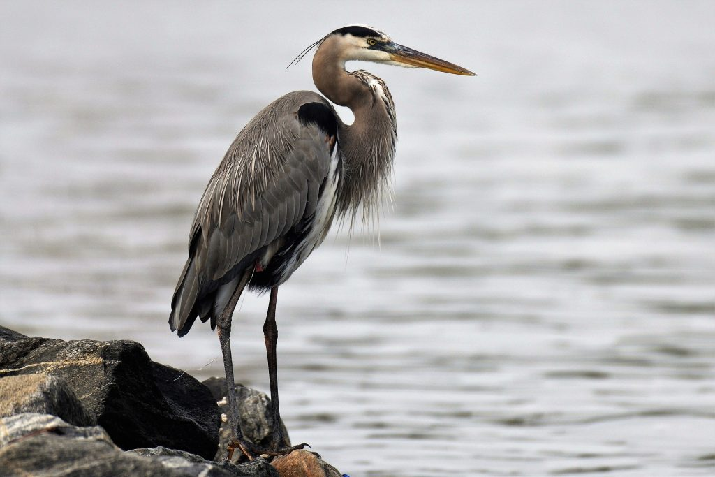 Egret, crane or heron? How to tell which bird you have ...