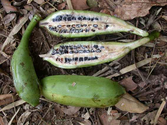 Wild bananas around Chiang Mai | Dokmai Dogma
