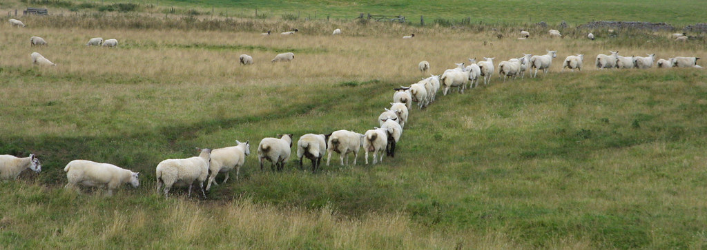 sheep walking | Sheep following each other er.. Sheepishly ...