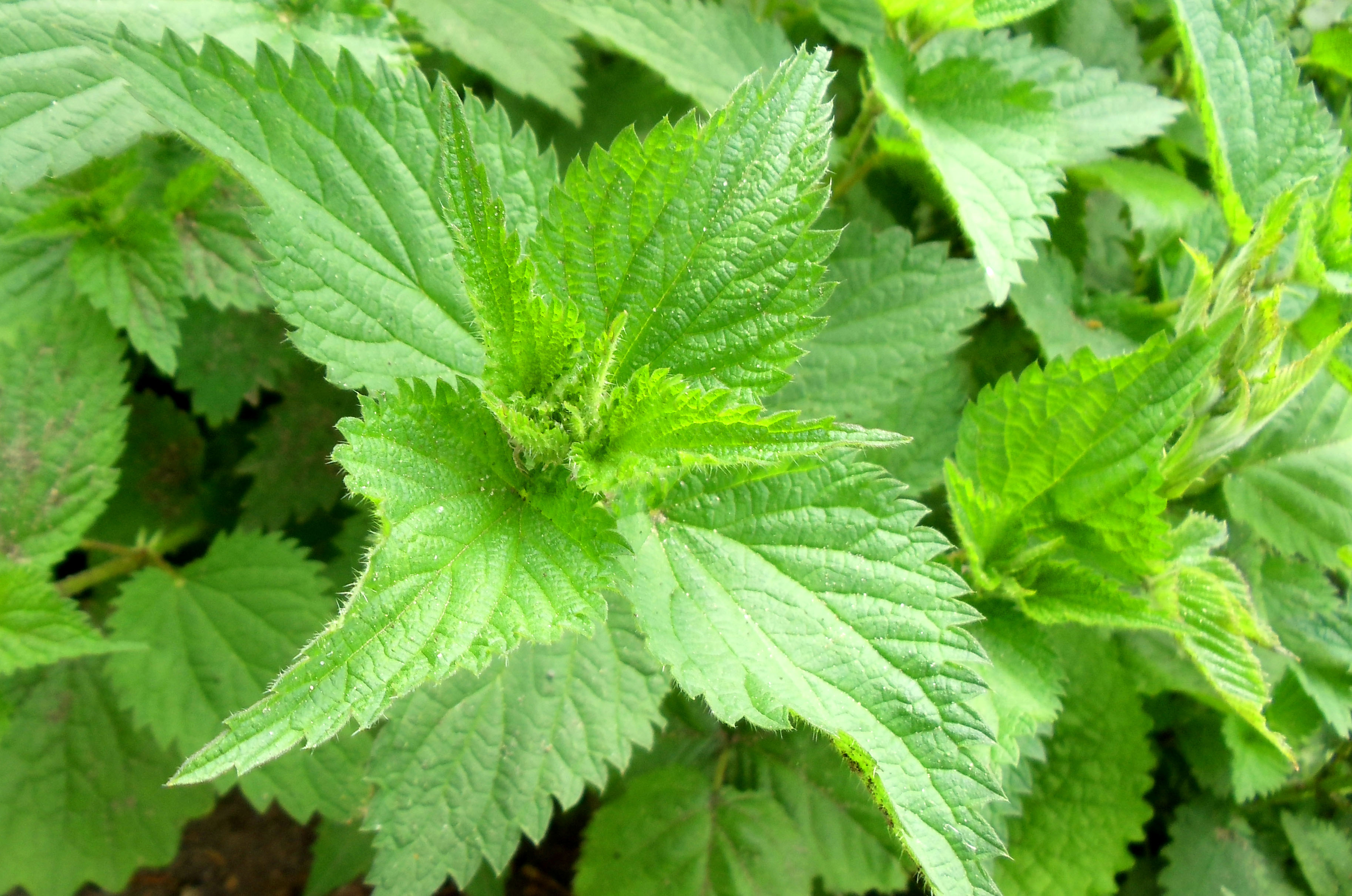 Nettle Me This! | Forageporage's Blog