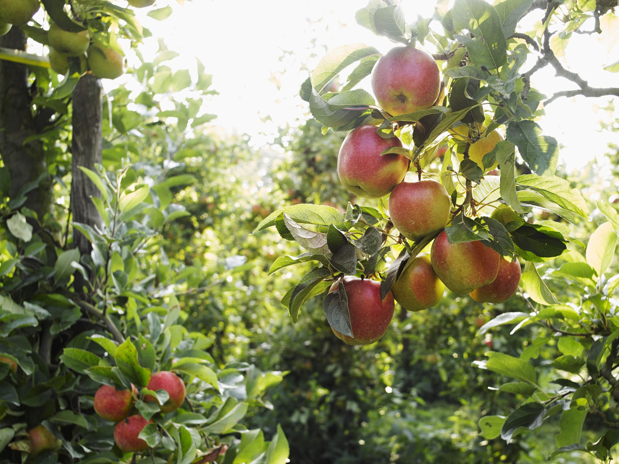 Apple Orchards Near Minneapolis and St. Paul neem oil uses