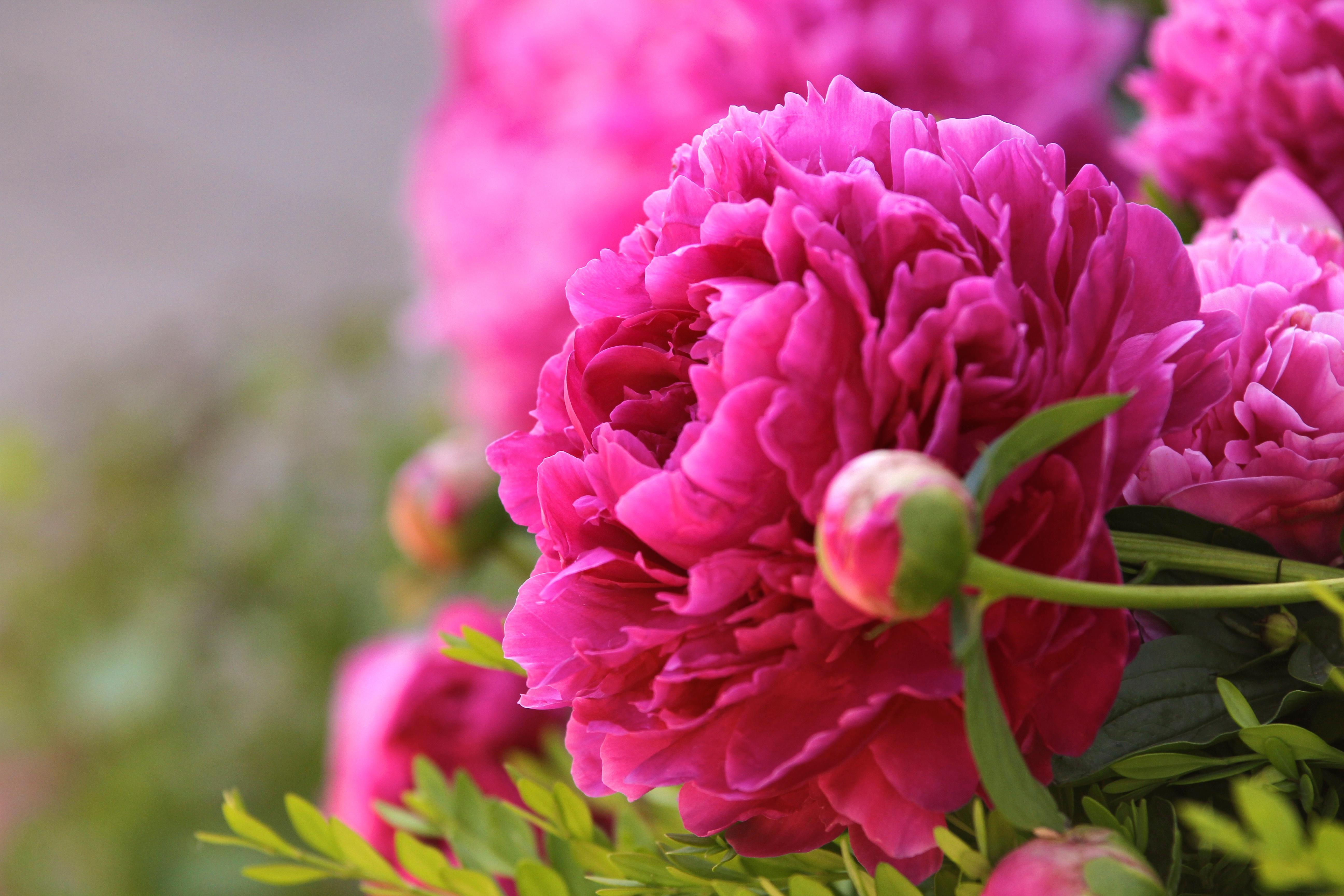 Bunga Peoni