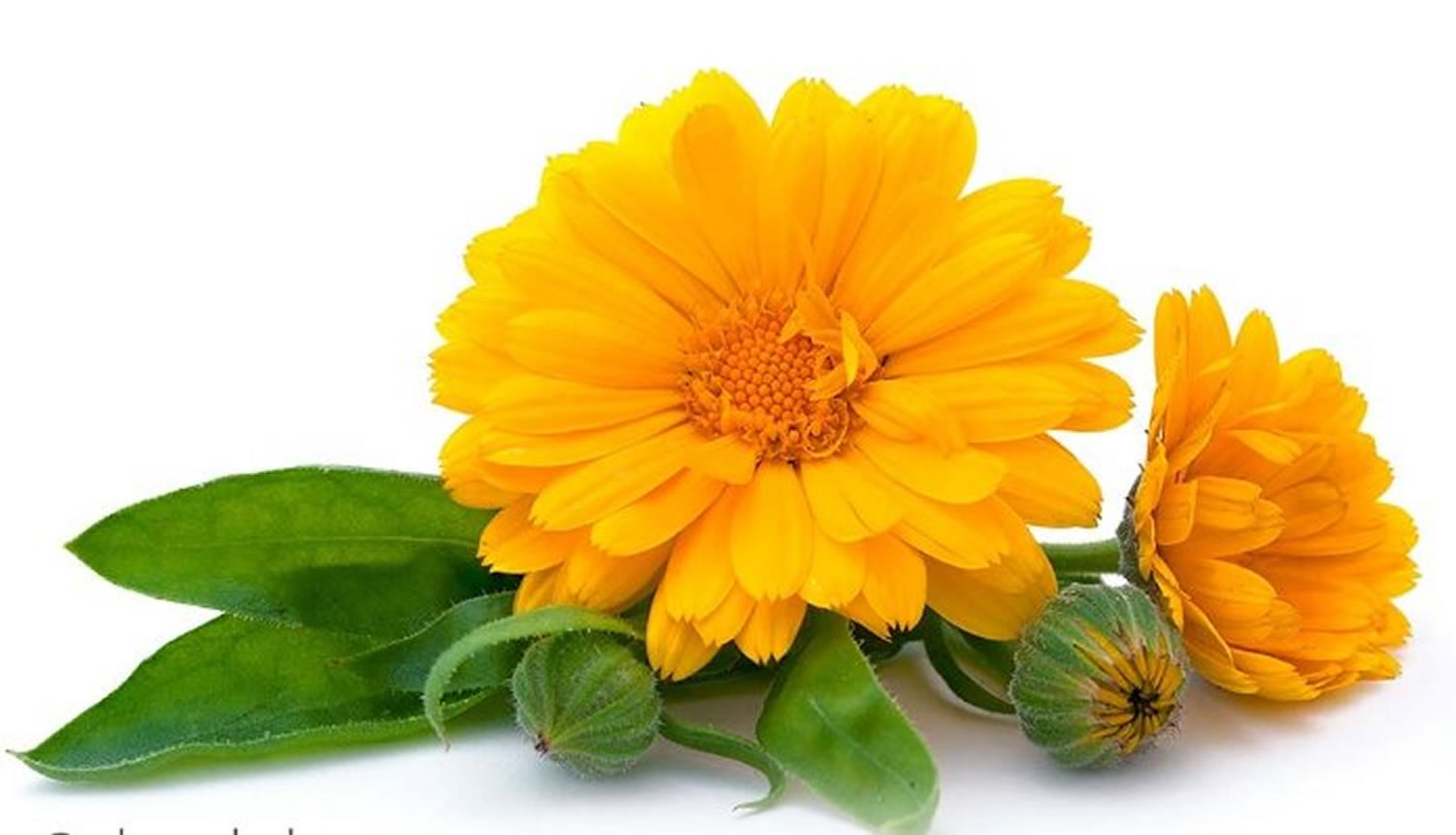 What is Calendula - Calendula Oil, Ointment, Tea, Cream ...