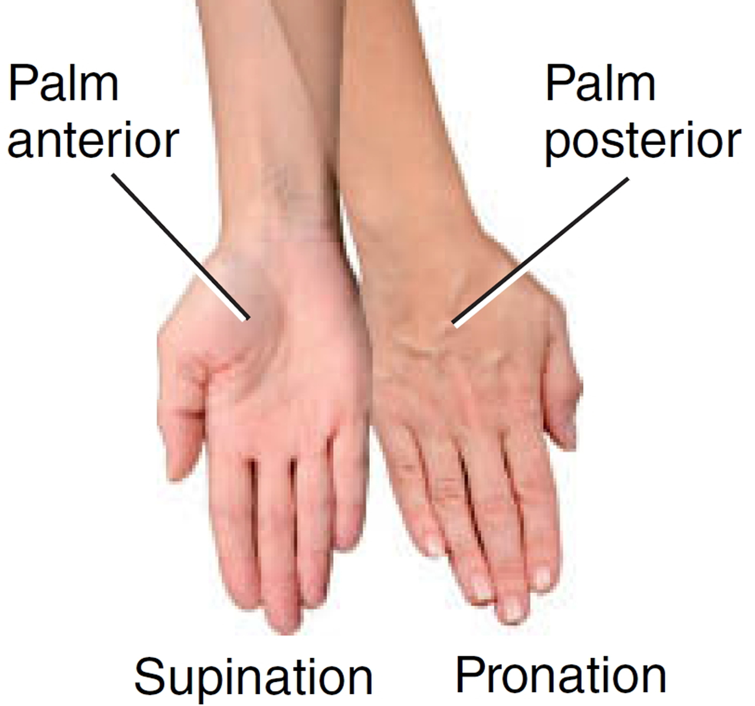 Pronation and Supination of the Forearm. Pronation and ...