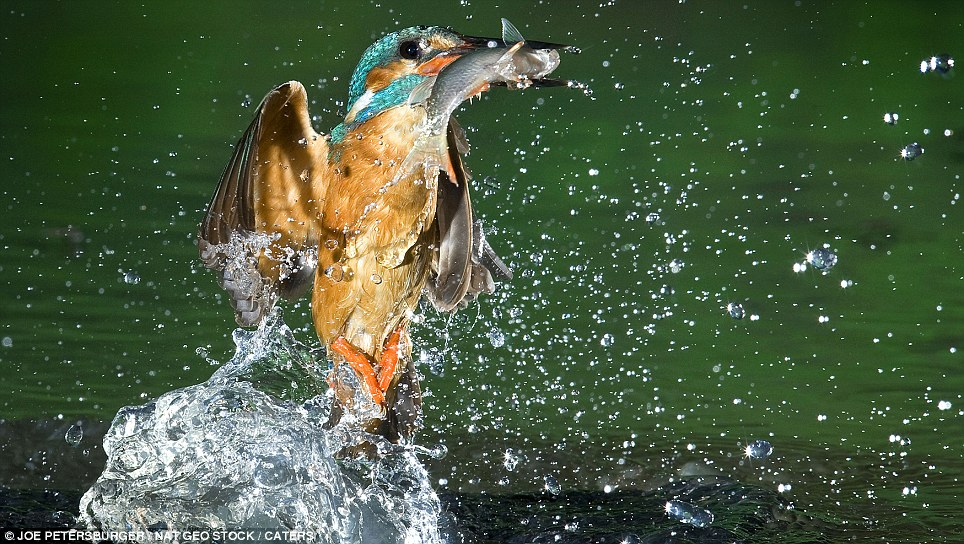 Photographer captures Kingfisher beak to beak with its ...