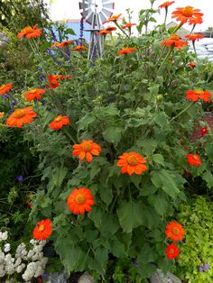 Tithonia, Sundance | Gardens | Mexican sunflower, Annual ...
