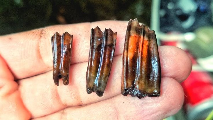 I Found RARE Fossil Antelope Teeth While Scuba Diving a ...
