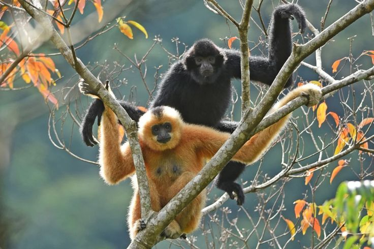 Critically endangered Hainan gibbons return from brink of ...