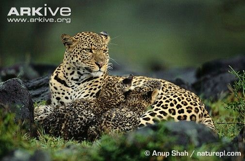 ARKive   Leopardo