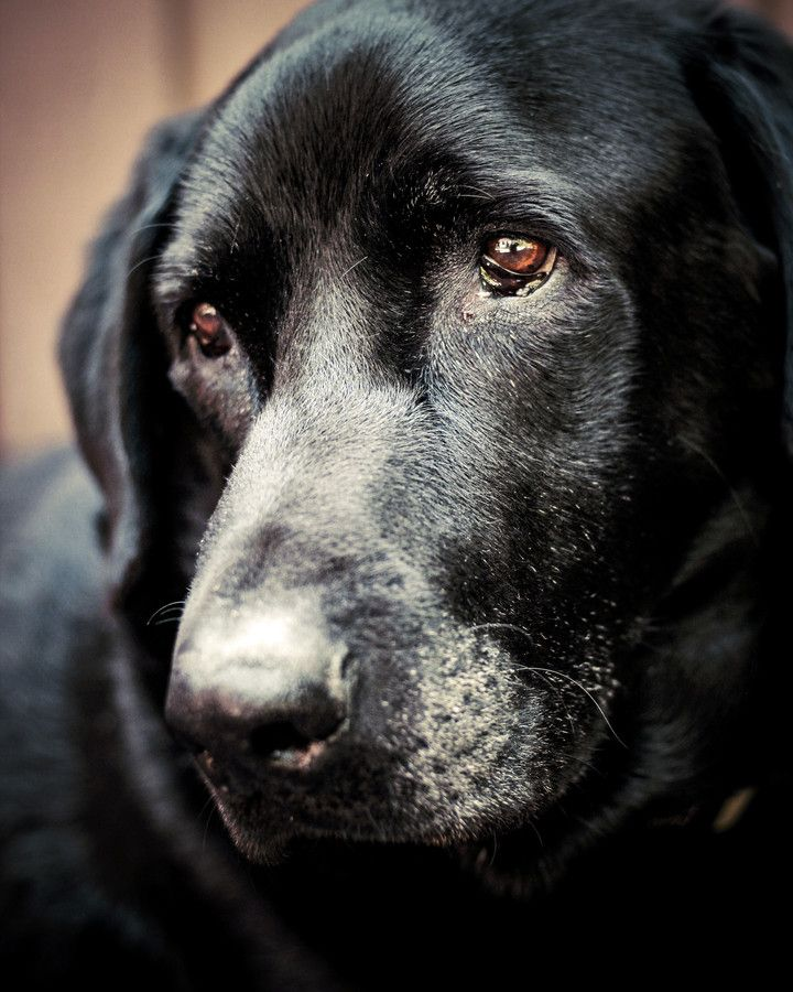 such a beautiful old soul... | Labrador dog, Black ...
