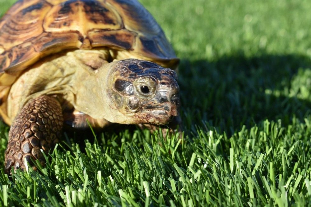 Timothy the Russian Tortoise Photos | Russian tortoise ...