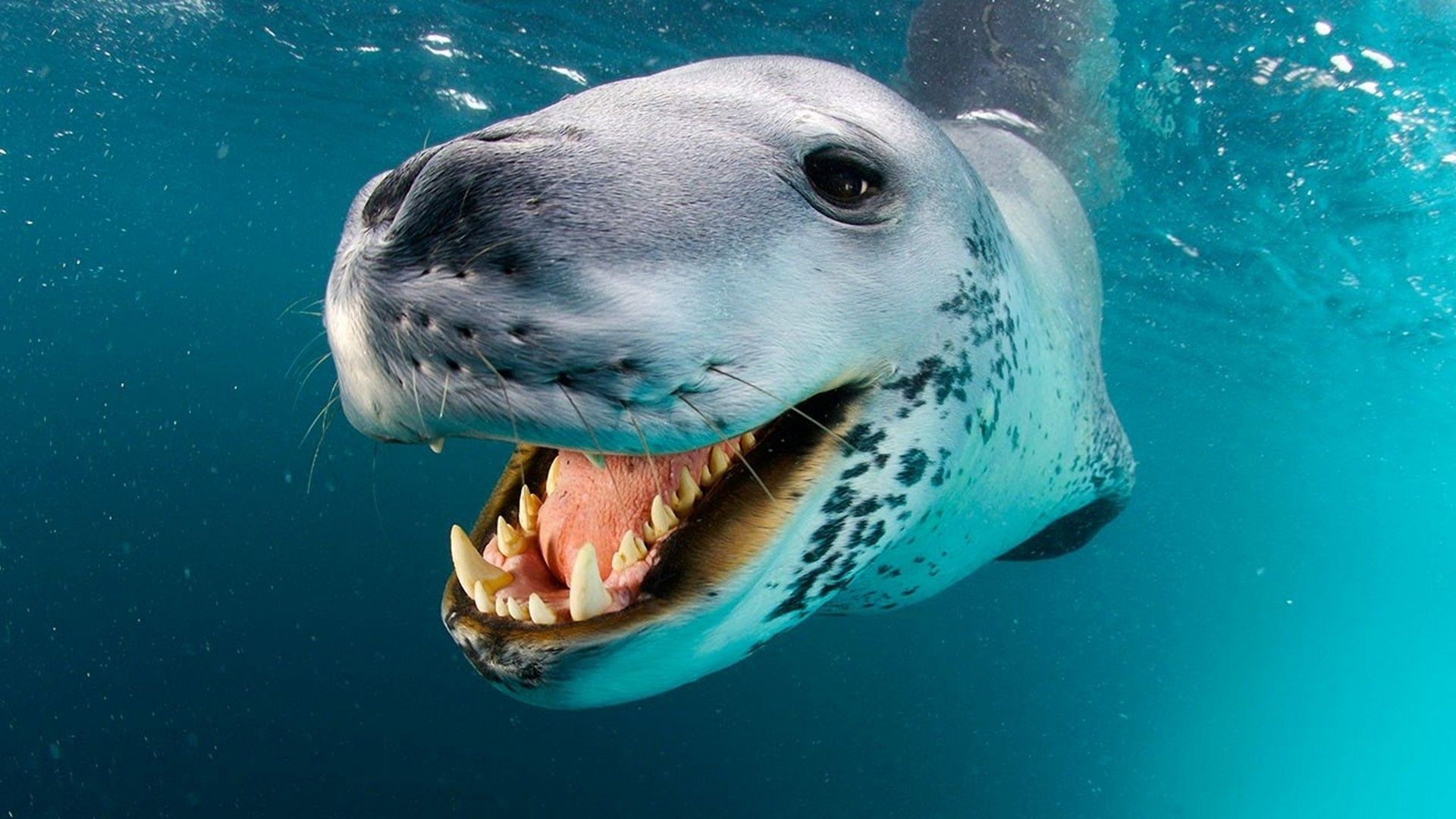 Pin on Sea leopard wallpaper