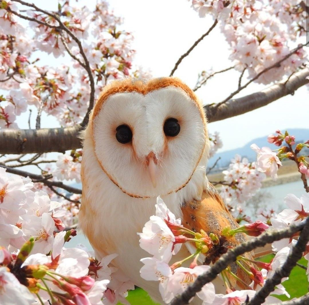 barn owls are my aesthetic and nobody can tell me ...